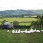 Geese Free Ranging