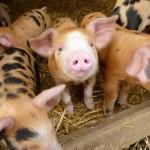 Elsie's Piglets 1